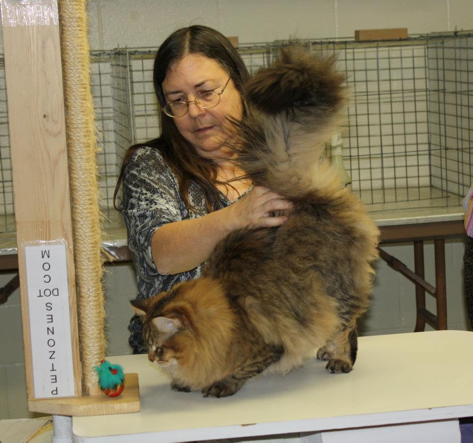 Showing Siberian Cat in Cat Show
