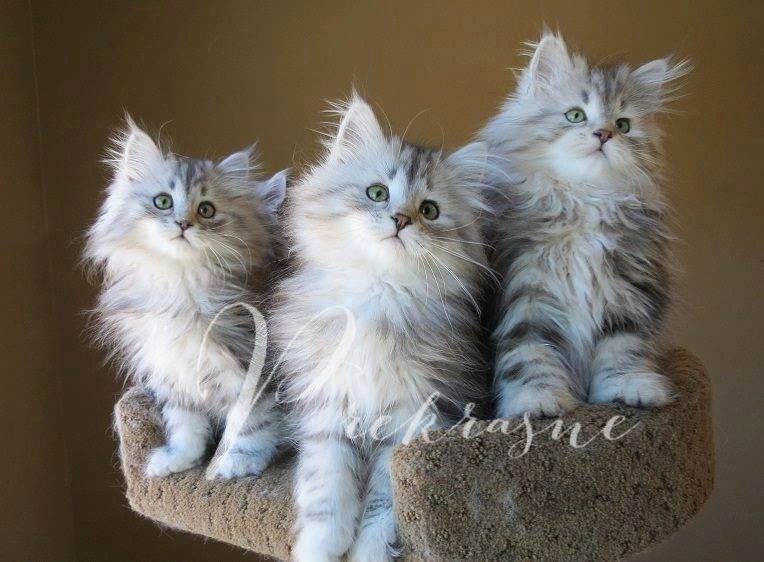 How to Join - Siberian Kittens